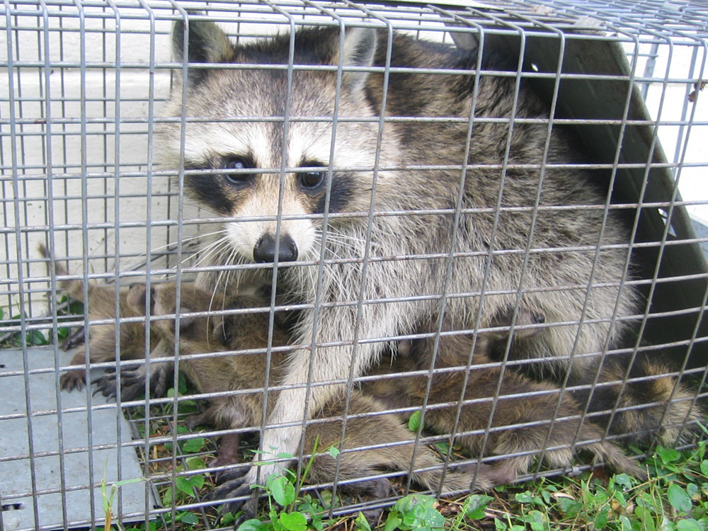 San Diego Raccoon Removal And Control